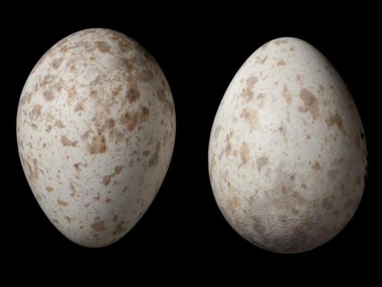 Black robin eggs