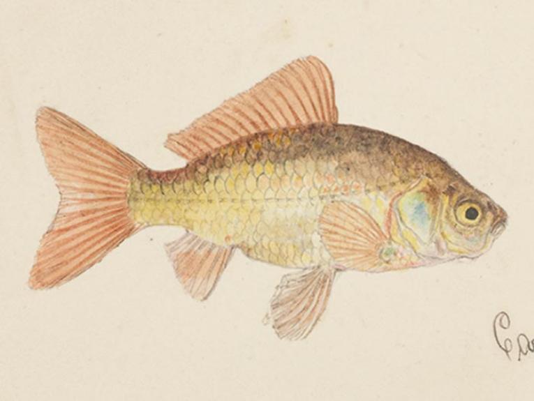 Goldfish drawing
