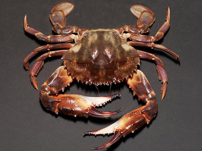 Crustacean specimen