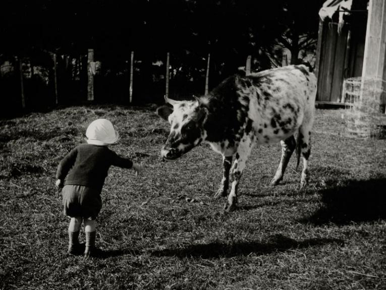A little boy feeds a cow
