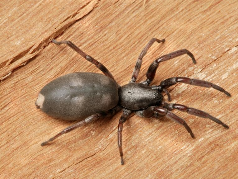A spider with a large body and a white spot on its tail sitting on a piece of wood