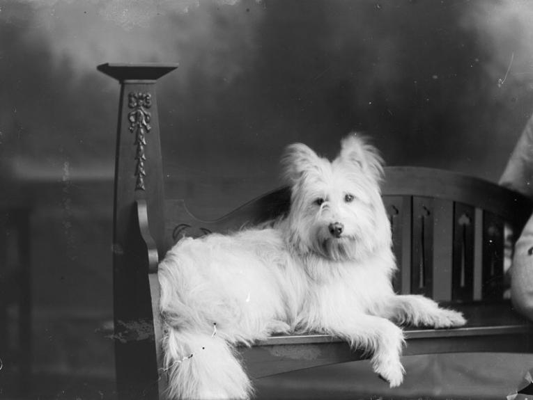 A white fluffy dog on an ornate chair