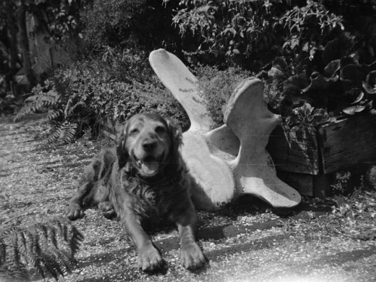 A golden retriever dog sits next to a huge whale bone