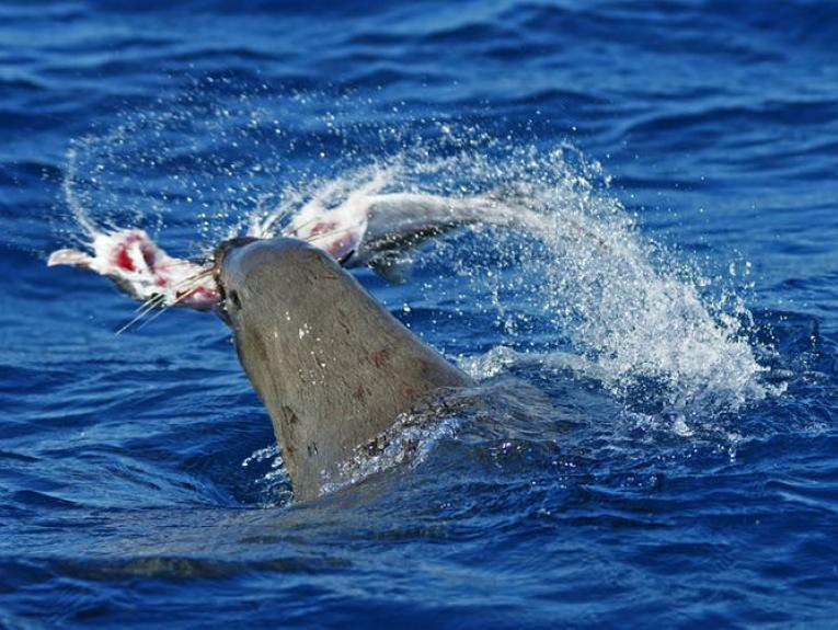A seal thrashing in the ocean with a ghostshark in its mouth