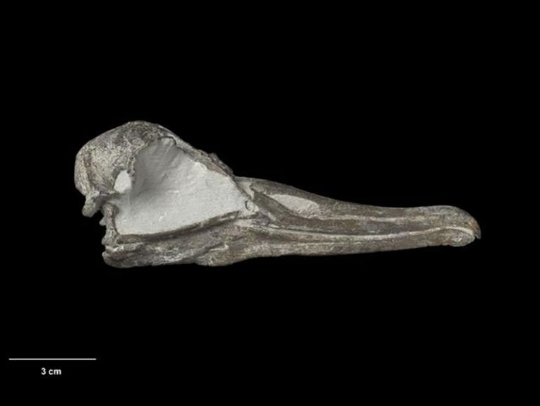 a fossilised skull that looks like a beak with a black background