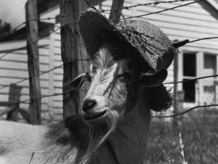 A goat wearing a straw hat