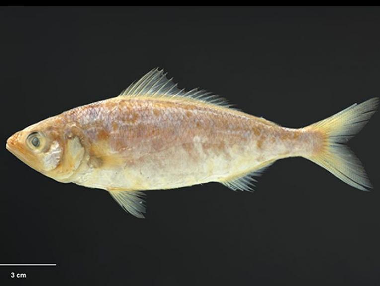Kahawai specimen