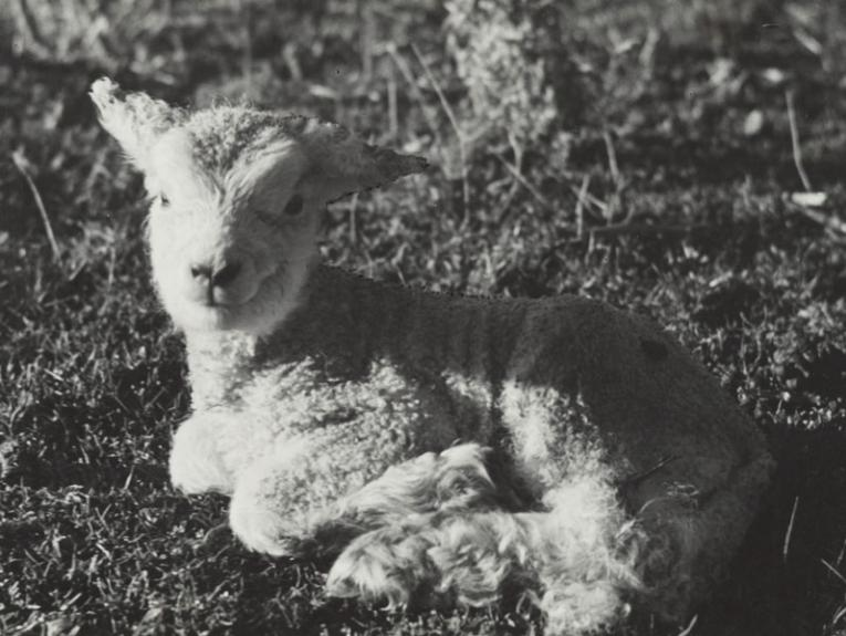 A tiny lamb in the grass