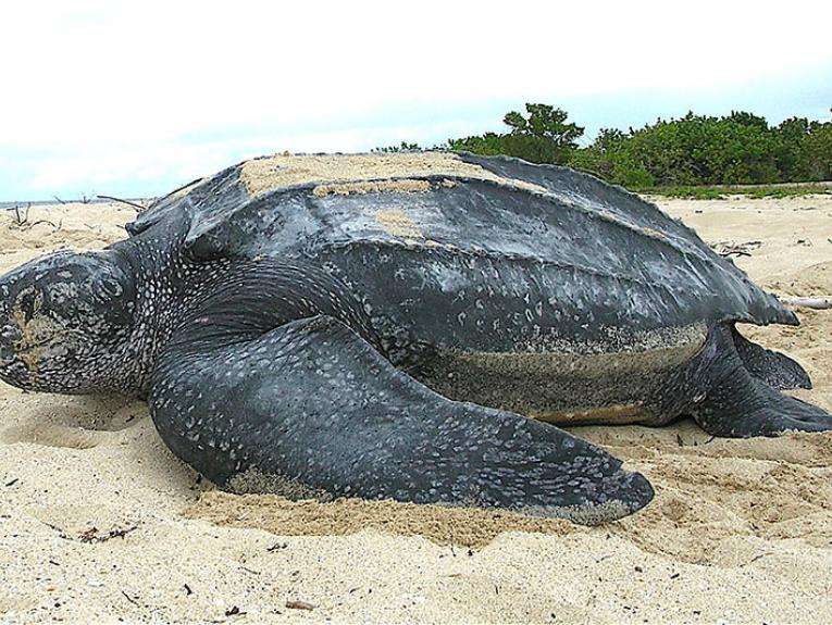 Leatherback sea turtle on a beach with trees and the ocean in the background