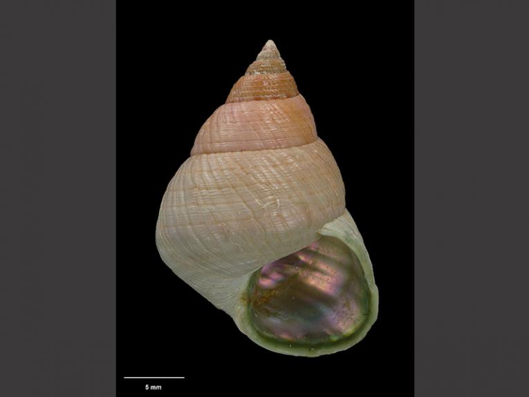 Photograph of a conical-shaped snail shell, of peach colouring
