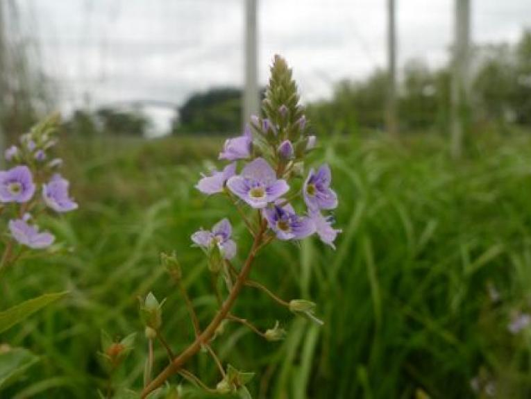 A purple flowering plant low on the grassy ground