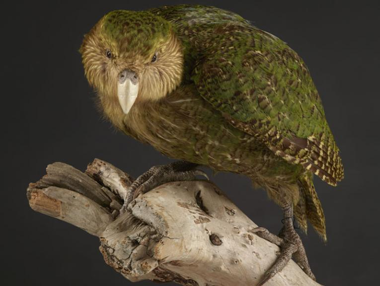 Specimen of a kākāpō, standing on a branch