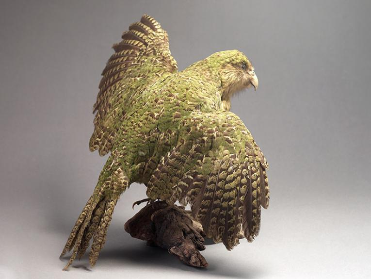 Kākāpō specimen, from behind with its wings outstretched to show its feathers