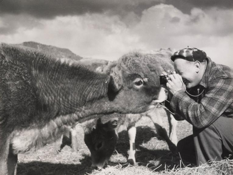 A man photographing a cow
