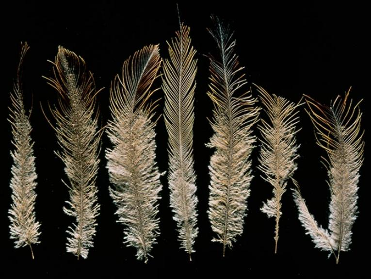Feathers from an upland moa