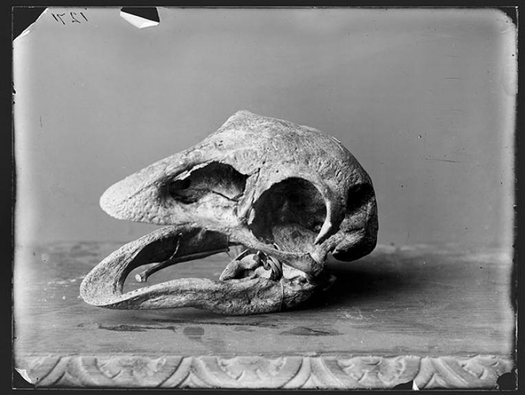 Burton Brothers studio moa skull