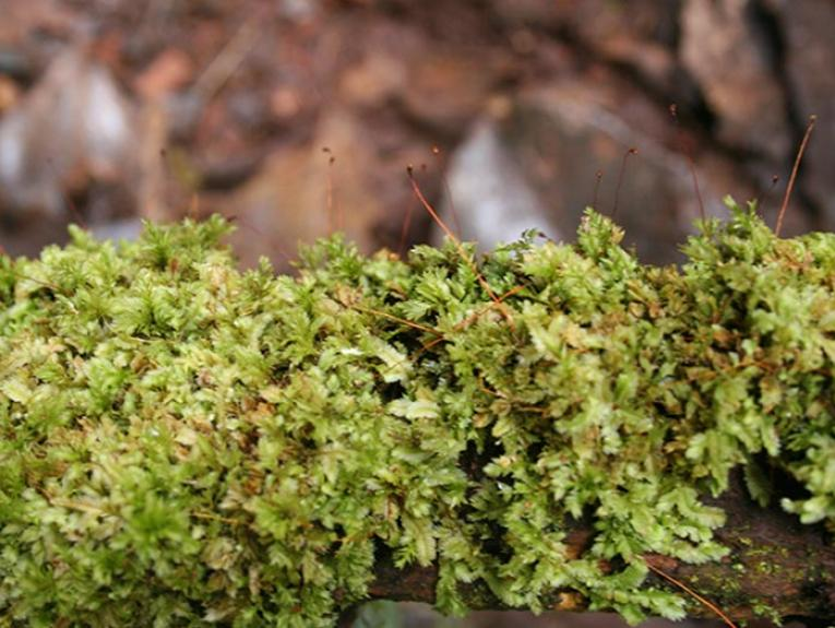 Moss from Snares Island