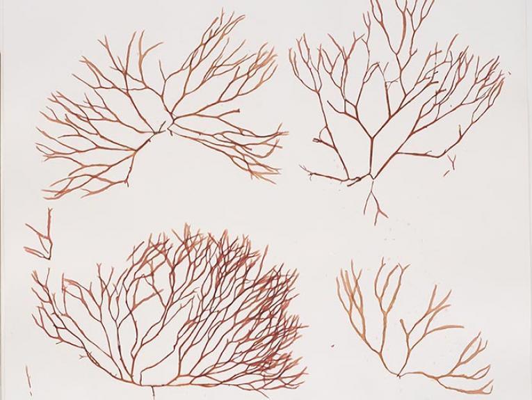 Nesophila hoggardii isotype