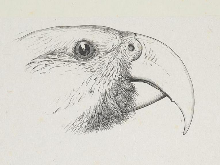 Kākā drawing