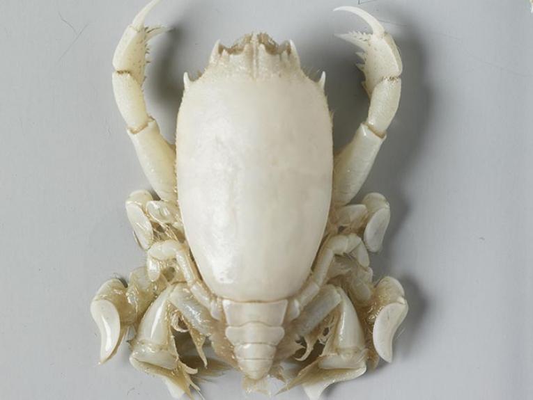 Crustacea specimen