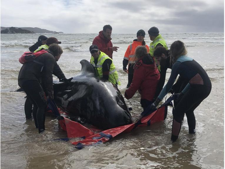 People surrounding a stranded pilot whale on a red tarpaulin