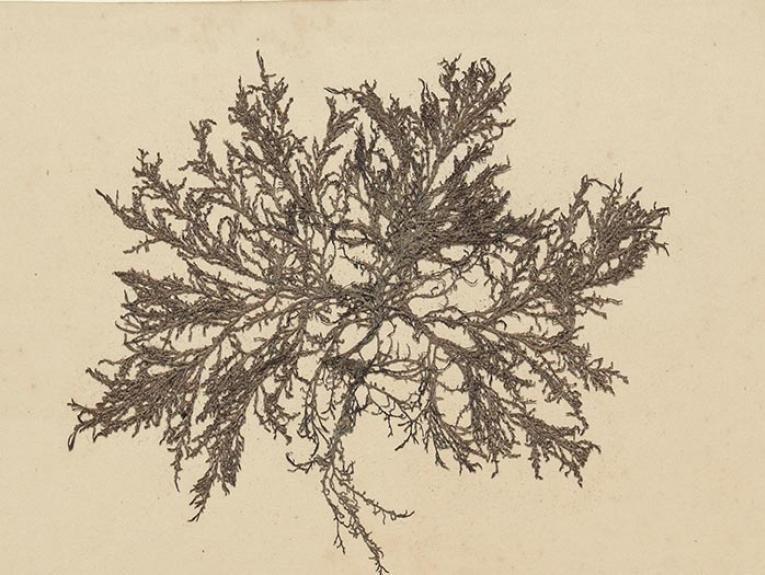 Algae Nova-Zelandicae Exsiccatae