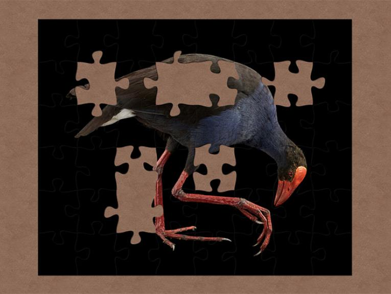 A taxidermy pukeko, a bird with vibrant blue plumage and black wings, red legs and a large red beak