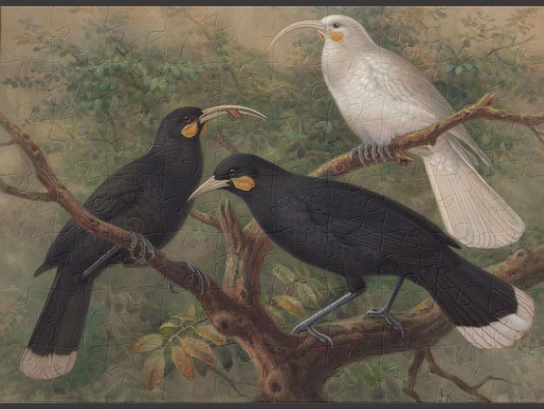 Painting of three huia birds