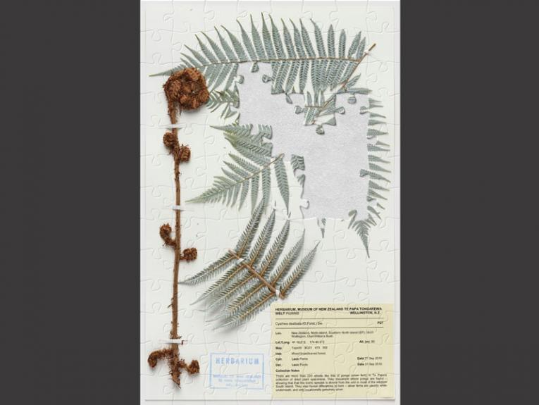 Puzzle of a silver fern specimen attached to a piece of paper