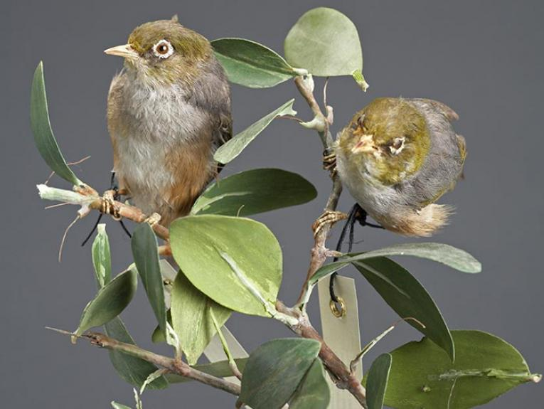 Silvereyes on branch