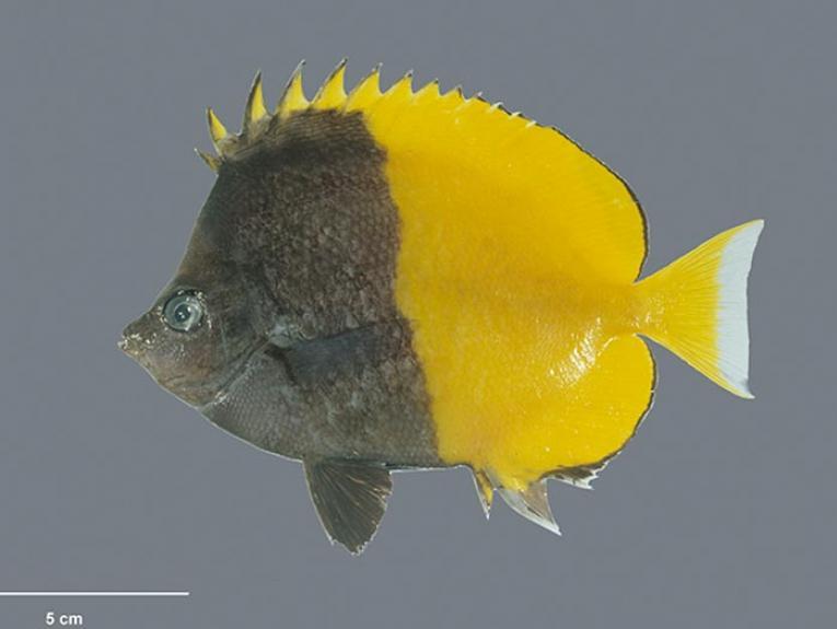 Smith's butterflyfish