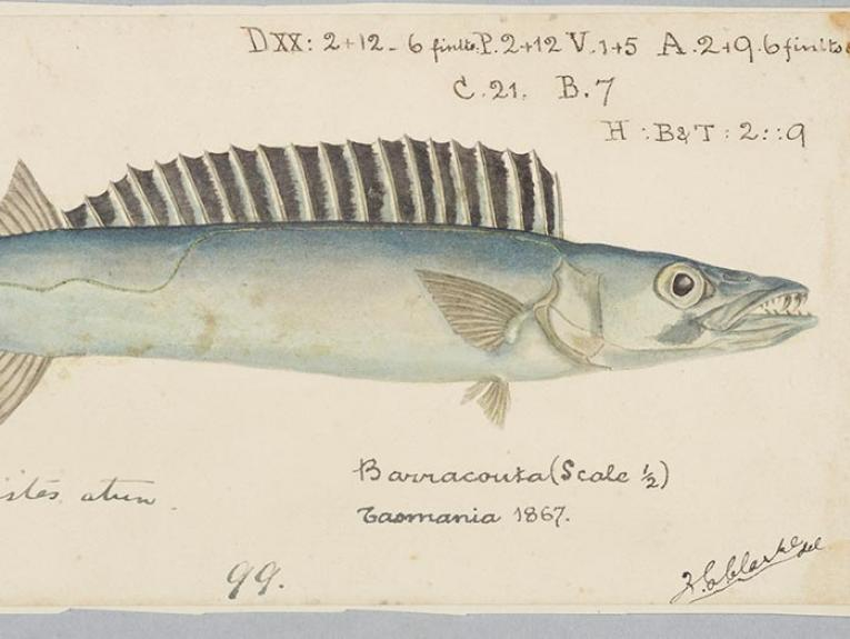 Drawing of a barracouta