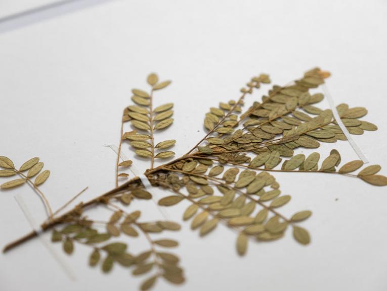 A close up photo of a pressed plant specimen