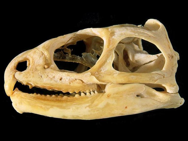 Tuatara skull