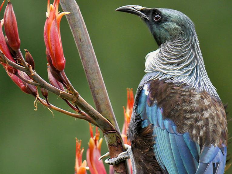 Tui perching on flax, or harakeke in flower