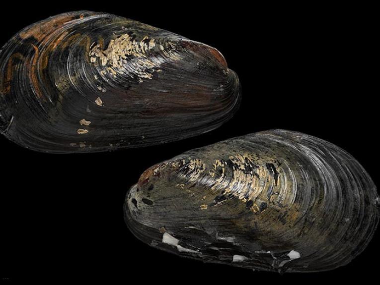 Large mussel specimen