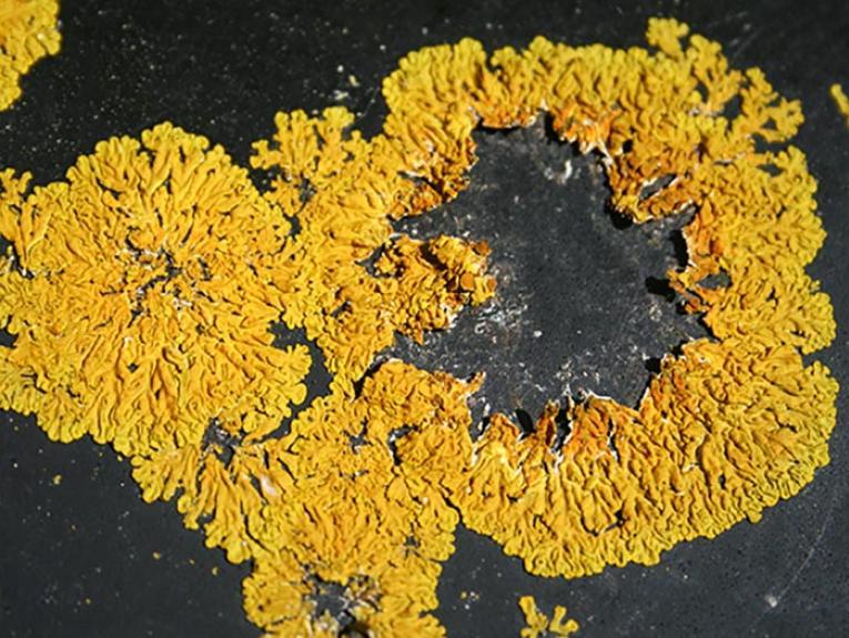 Xanthoria ligulata lichen