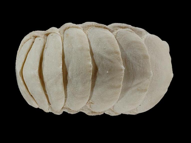 Marine mollusc