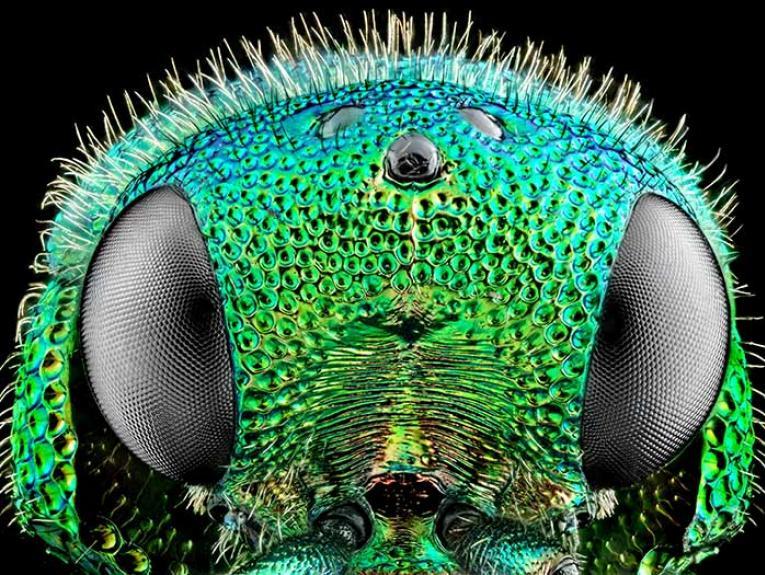 Jewel wasp
