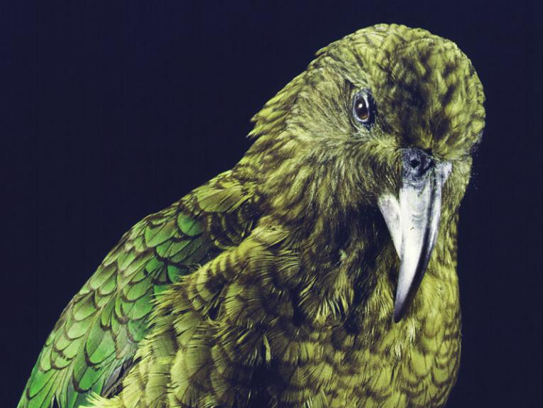 Kea, Nestor notabilis, collected Sep 1987, Otira, Westland, New Zealand. CC BY-NC-ND licence. Te Papa (OR.023944)