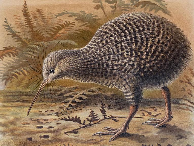 Watercolour of a grey kiwi