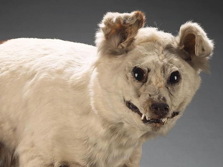 White taxidermy dog