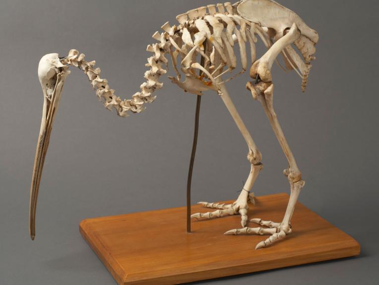 Skeleton of a kiwi bird