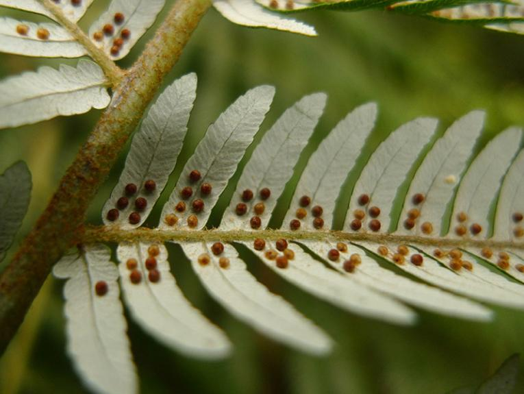 Underside of a fern frond with brown seed pods