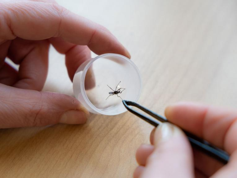 Person holding a mosquito between some tweezers