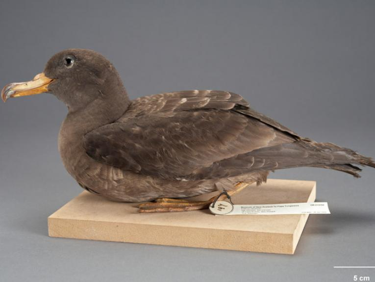 Flesh-footed Shearwater, Puffinus carneipes, collected 28 Jan 1932, off Cape Rodney, New Zealand. Purchased 1939. CC BY-NC-ND licence. Te Papa (OR.014192)