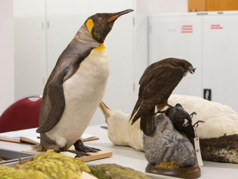 Taxidermy penguin