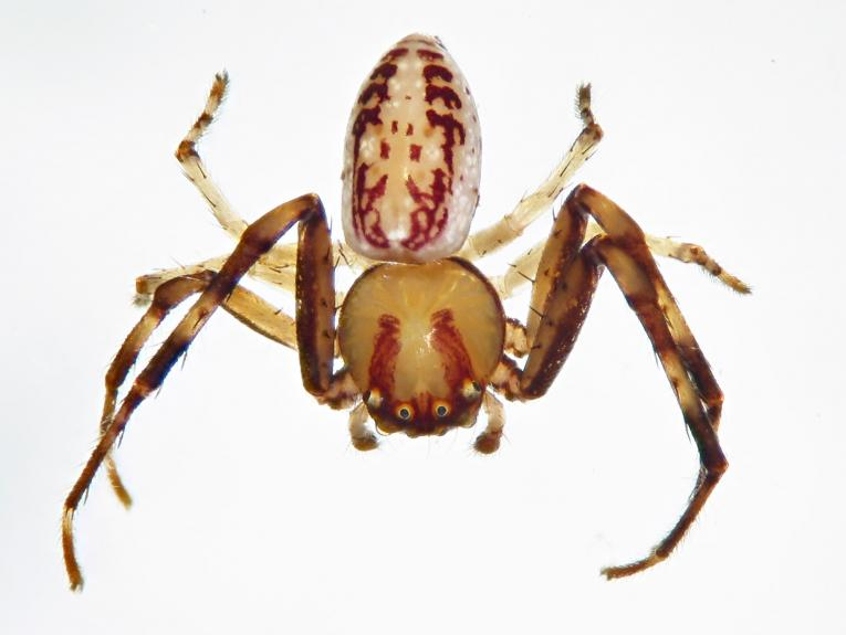 A close shot of a brown spider on a white background