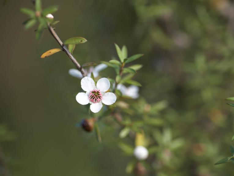Manuka, Leptospermum scoparium J.R.Forst. & G.Forst., collected 02 Apr 2009, southern Wairarapa, New Zealand. CC BY-NC-NDCC licence. Te Papa (SP087325)