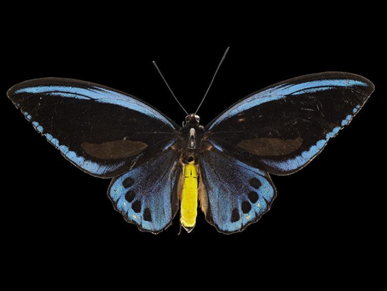 Priam's blue birdwing butterfly